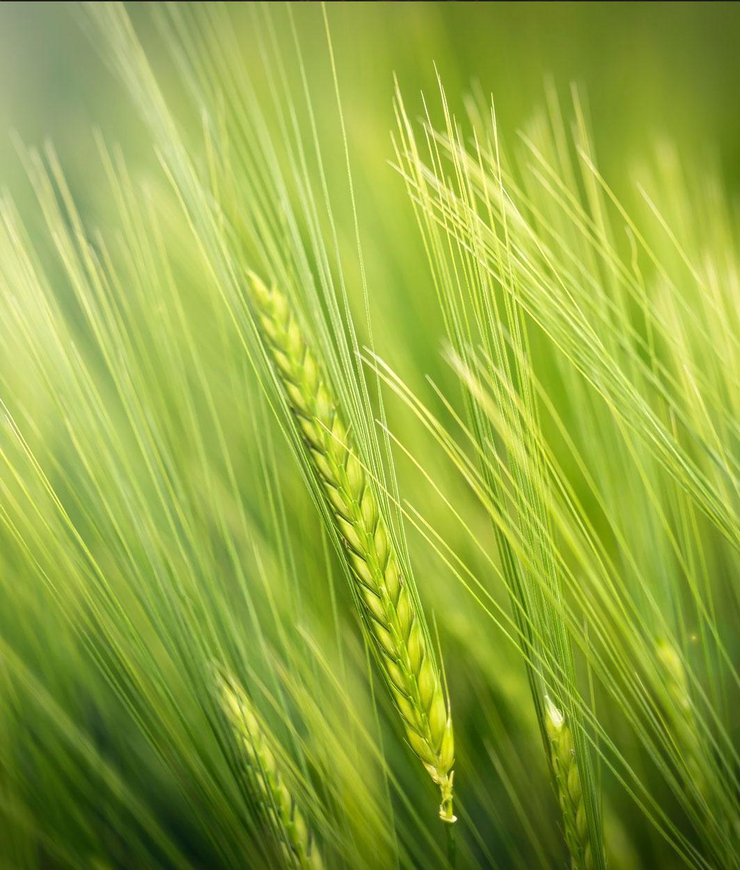 Rohstoff Gräser
