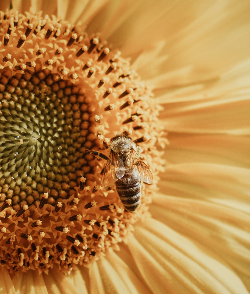 Rohstoff Sonnenblume